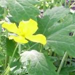 lemonade-color blossom