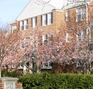 cherry blossoms & condo facade