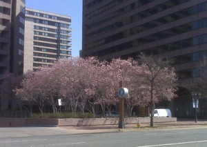 cherry trees in Crystal City