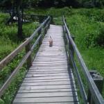 Foxy on boardwalk