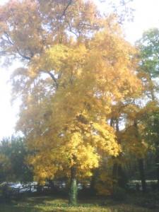 Belle Haven - Tree in Fall
