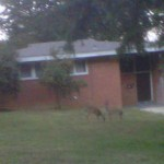 Deer in Belle Haven Estates