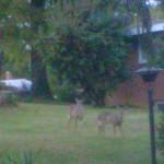 Deer in Belle Haven Estates