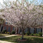 A tree in full blossom at Port Potomac