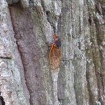 A cicada sits on a tree at Pohick Regional Park