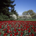 1980...Spring tulips and dogwoods on the George Washington Memorial Parkway,