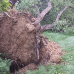 An uprooted tree resulting from a storm