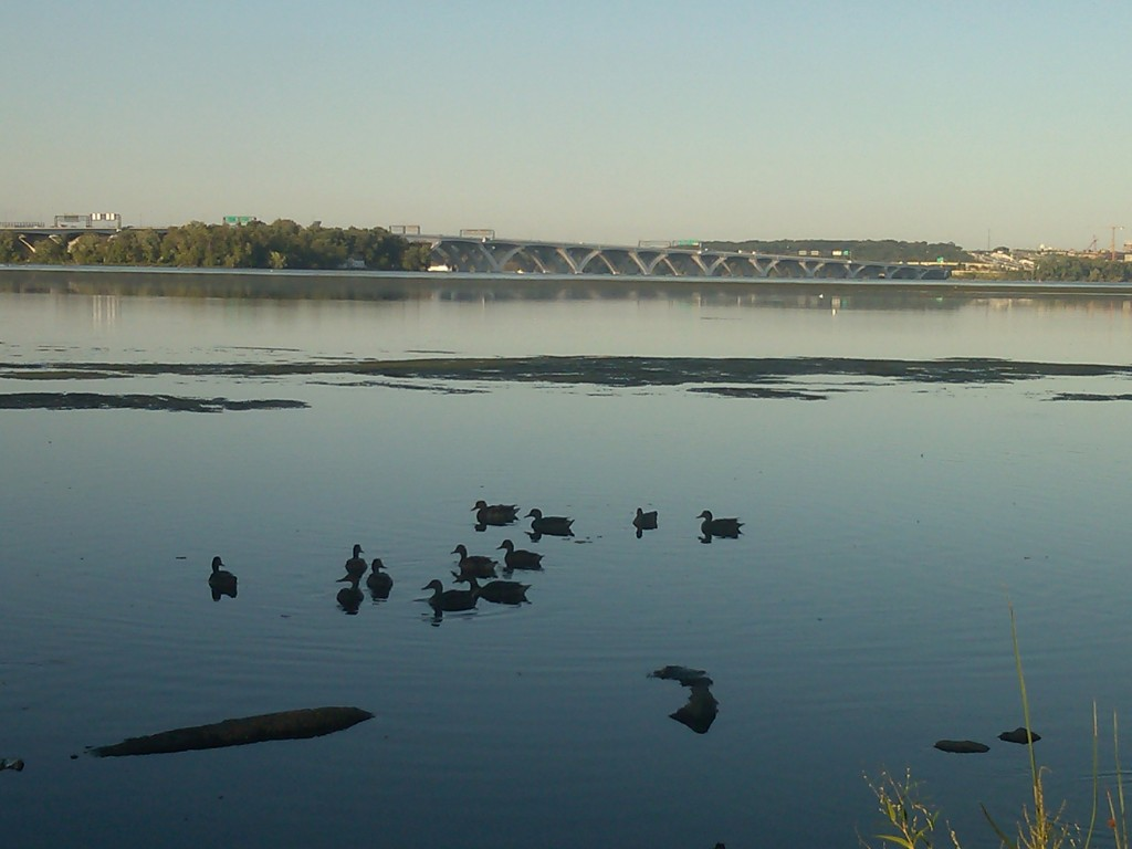 A zoomed in close up on ducks in the Potomac River
