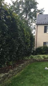 Hedge in frontyard
