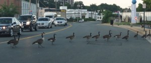 Geese blocking traffic in Alexandria